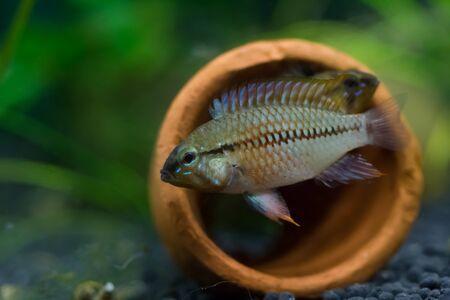cichlids: Dwarf cichlids fish, exotic pets