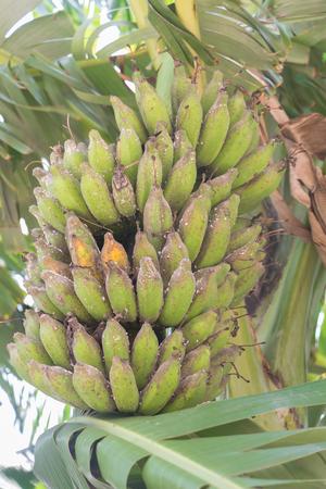 bad banana: banana have damage from a pest