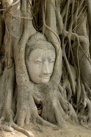boom wortels: Het hoofd van Boedha in boomwortels Stockfoto
