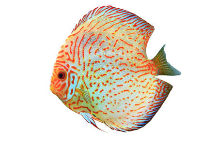aequifasciatus: Pompadour fish