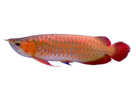 Arawana fish photo