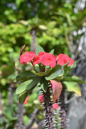 corona de espinas: Corona de espinas, flor Cristo espina