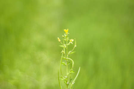 grass flowers on green Rice fields photo