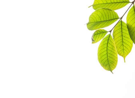 green leaf isolated on white background photo