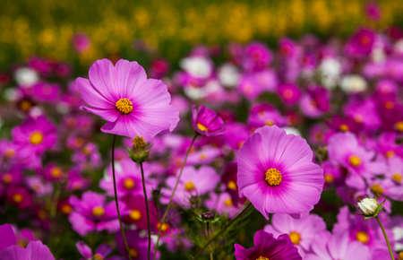 nakhon: Cosmos flowers garden at jim thomson farm in Nakhon Ratchasima Thailand