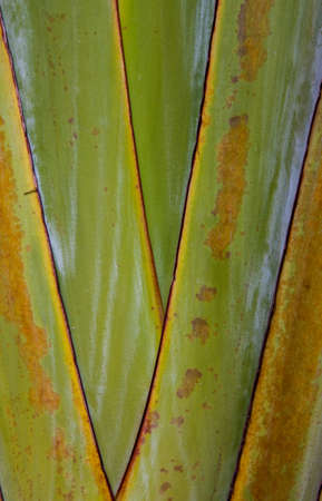 Art pattern detail of banana fan (Ravenala)  Thailand photo