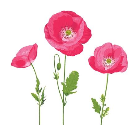 corn poppy: Poppy