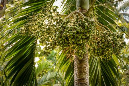 betel nut on the plant, 23-april-2017