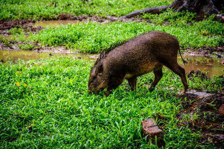 boar in the fields, myanmar, 28-may-2017