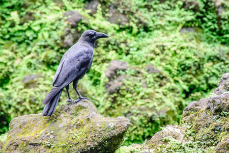 black crow on the stone Stock Photo
