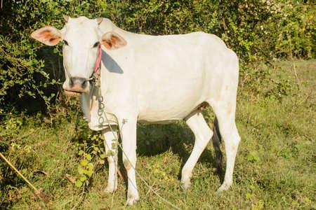 closeup photo of white cow Фото со стока