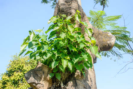 small banyan tree is growing on the another tree Stock Photo