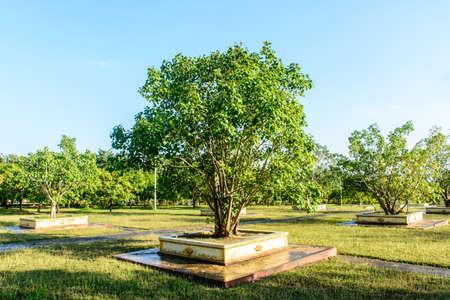 photo of young banyan trees Imagens