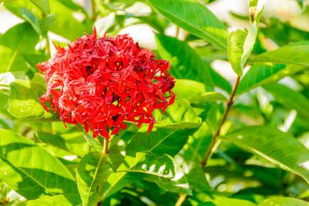 photo of red flower, ixora