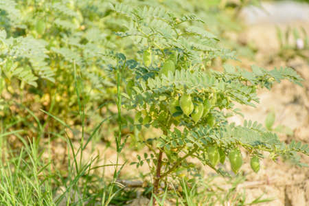 photo of chick pea plant with fruits