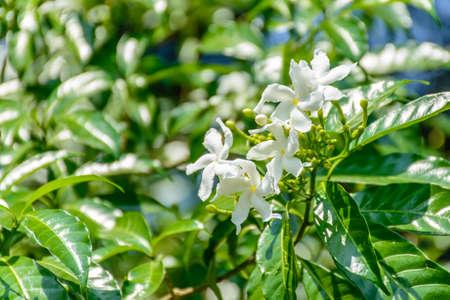 small and white jasmine flowers