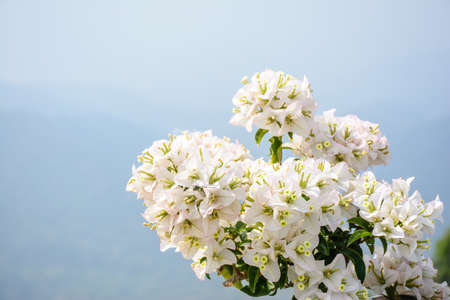 closeup photo of beautiful bougainvillea flower Imagens