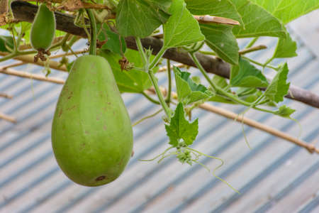 photo of gourd on the plant