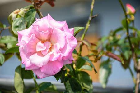 photo of beautiful rose flower Imagens
