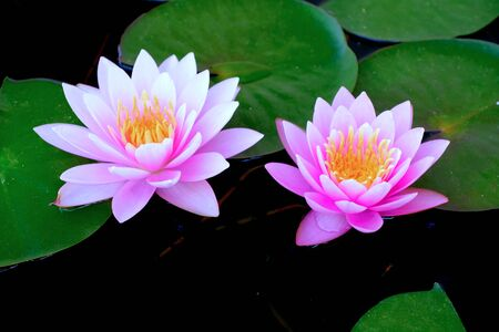 Purple lotus in the basin very fresh when looking, Good photos.