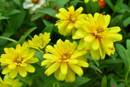 Zinnia flower blooming in the garden. Stock fotó