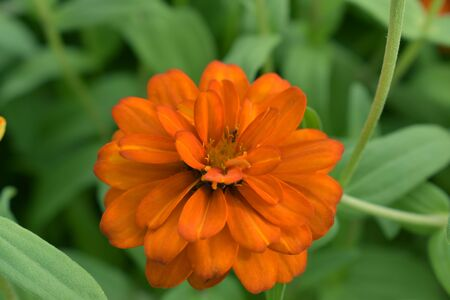 Zinnia flower blooming in the garden.