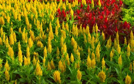 Celosia colorful in the garden very fresh in nature after rain.