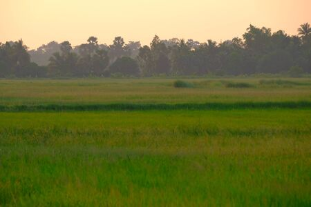 Rice fild in the evening at the countryside very feeling peace and cool.