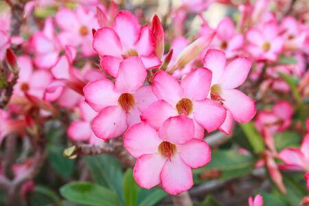 adenium obesum: Pink Flower on Adenium obesum tree or Desert Rose Stock Photo