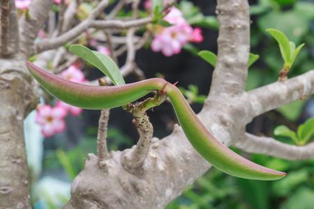 adenium obesum: Adenium pod on Adenium obesum tree