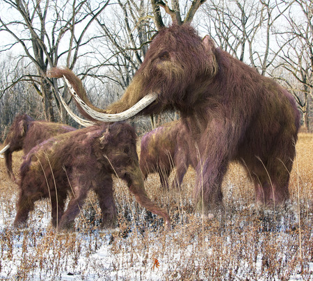 prehistoric animals: An illustration of a family of Woolly Mammoths feeding on wild grass in an ice age forest.  The woolly mammoth (Mammuthus primigenius) was a species of mammoth, the common name for the extinct elephant genus Mammuthus. The woolly mammoth was one of the la