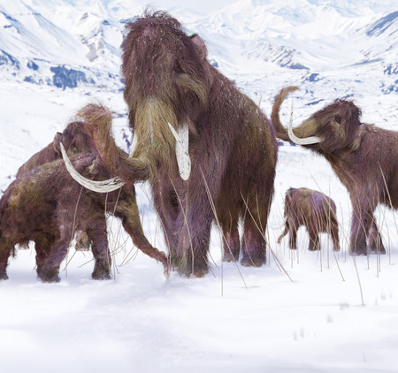 ice age: Woolly Mammoth Family - An illustration of a family of Woolly Mammoths grazing on what is left of the grasses as winter approaches in this ice age scene.