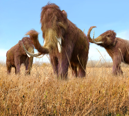 extinct: An illustration of a group of Woolly Mammoths feeding on wild grass in an ice age grassland during an autumn feast.  The woolly mammoth (Mammuthus primigenius) was a species of mammoth, the common name for the extinct elephant genus Mammuthus. The woolly