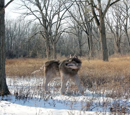 extant: Una ilustraci�n de la extinta gran Dire Lobo caza solo en el bosque. El lobo calamitoso es un mam�fero carn�voro extinto del g�nero Canis, aproximadamente del tama�o del lobo gris existente, pero con una estructura m�s pesada.