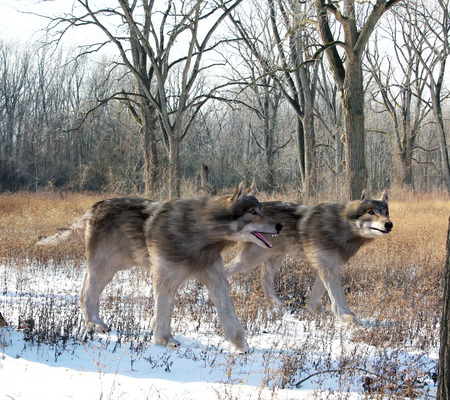 extant: An illustration of  Dire Wolves hunting together in the woods. The dire wolf is an extinct carnivorous mammal of the genus Canis, roughly the size of the extant gray wolf, but with a heavier build.