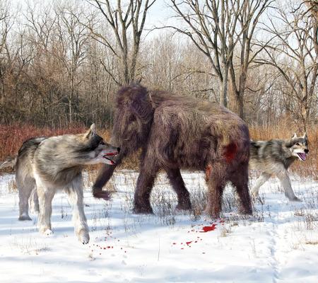 Eine Abbildung von Dire Wolves Angriff auf eine junge Mammuts. Das Riesenwolf ist ein erloschener fleischfressende Säugetier der Gattung Canis, etwa die Größe des vorhandenen grauen Wolf, aber mit einem schwereren build. Standard-Bild - 43141176