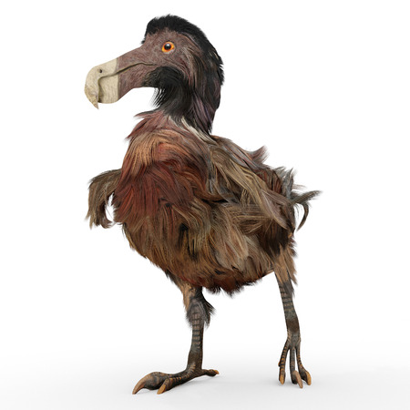 extinct: An illustration of the extinct Dodo Bird on a white background. This rendering reflects contemporary scientific research on the bird as more slender and darker in color than the traditional painting depictions.An illustration of the extinct Dodo Bird on a
