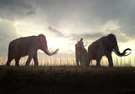 mammoth: An illustration of a group of Woolly Mammoths grazing in a field in the sunset.