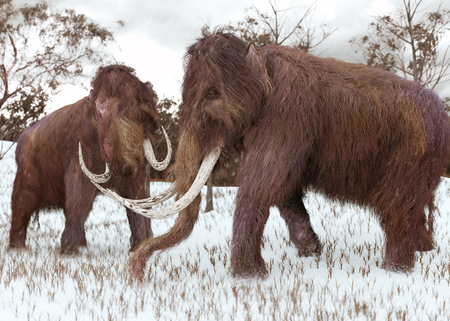 A 3-D illustration of two Woolly Mammoths grazing in a snow-covered grassy field during the ice age (45,000 years ago). Stock Photo