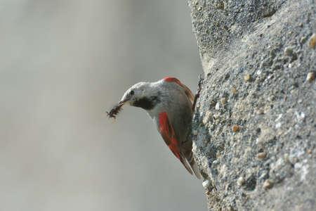 rare rocks: The wallcreeper or Tichodroma Muraria in natural environment Stock Photo