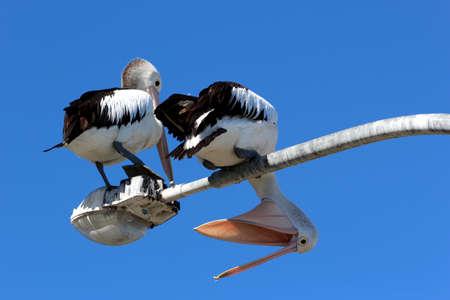 Pelican, Port Stephens, Australia