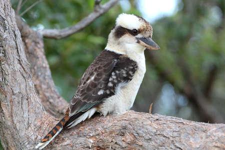 Laughing Kookaburra, Port Stephens, Australia Stok Fotoğraf