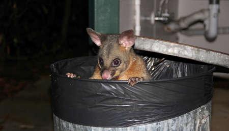 Possum, Sydney, Australia