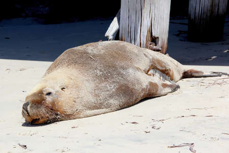 Seal, Esperance, Western Australia