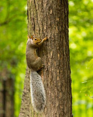 Squirrel in Prospect Park, Brooklyn, United States Фото со стока