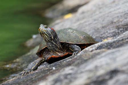 Florida softshell turtle, Central Park, New York City