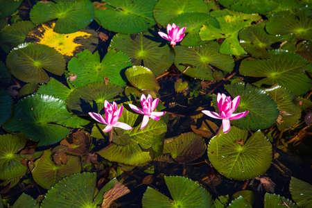 Waterlily in Brisbane's Botanic Garden, Queensland, Australia