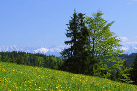Green Meadow in the Mountains, Yellow Dandellions Stock Photo - 13826636