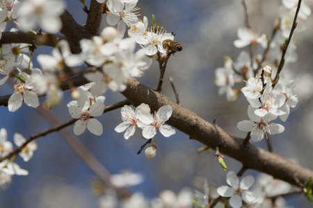 A bee on a wild cherry flowers, sunlit, springtime