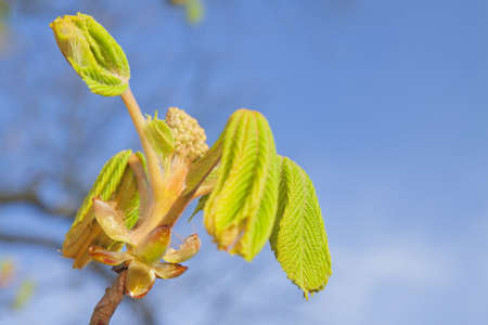 Horse chestnut early spring leaves, afternoon light photo